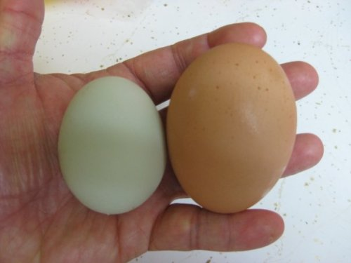 A normal farm fresh egg (which are bigger than store eggs) help up to a Teresa Birtles farm fresh egg!